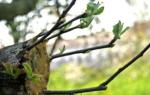 Как привить яблоню на дичку весной пошагово