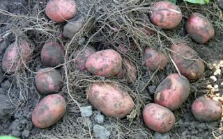 Картофель ажур описание сорта фото отзывы
