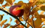 Почему яблоня не сбросила листья на зиму