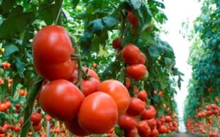 Высокорослые помидоры лучшие сорта + фото видео отзывы