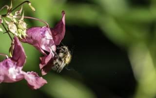 Как пчелы переносят пыльцу сбор опыление растений как привлечь в теплицу