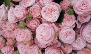 Роза бомбастик фото + описание