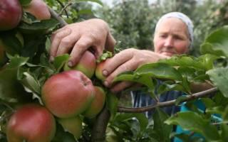Как хранить яблоки зимой в погребе (подвале)