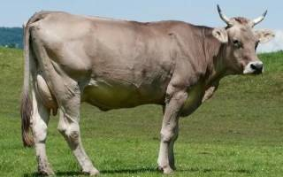Швицкая порода коров характеристика