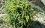 Барбарис цельнокрайний (berberis integerrima) описание фото