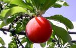 Слива красный шар описание сорта фото отзывы опылители