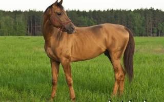 Донская лошадь характеристика фото масти отзывы