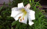Чем подкормить лилии