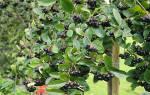 Уход за черноплодной рябиной осенью посадка пересадка обрезка подкормка размножение
