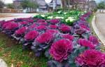Декоративная капуста выращивание и уход + фото