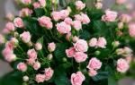 Миниатюрные розы сорта с фото