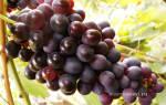 Виноград марадона шоколадный описание сорта фото отзывы