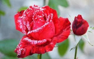 Как укрыть розы на зиму в подмосковье