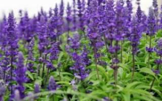 Сальвия многолетняя фото цветов когда сажать на рассаду