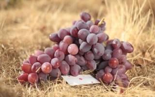 Виноград атаман описание сорта фото отзывы