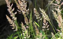 Злаковые сорняки фото и название