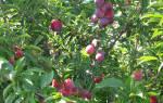 Слива маньчжурская красавица описание сорта фото отзывы