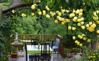 Как размножить плетистую розу черенками отводками