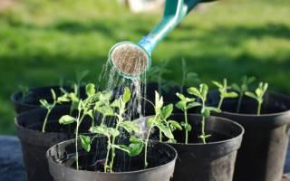Как правильно поливать рассаду баклажан