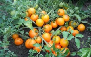 Детерминантный и индетерминантный сорт томатов