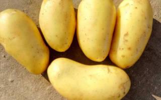 Картофель королева анна описание сорта отзывы