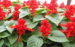 Сальвия сверкающая описание фото цветов посев уход