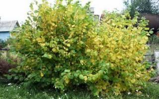 Фундук (лещина) уход и выращивание в подмосковье сибири на урале