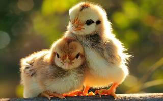 Кровавый понос у цыплят