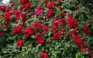 Розы плетистые сорта постоянного цветения + фото