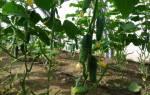 Комплексные удобрения для огурцов в теплице