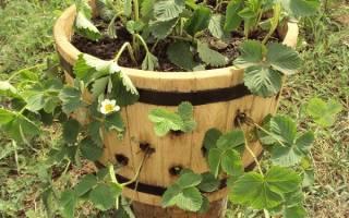 Клубника в бочке выращивание и уход + отзывы