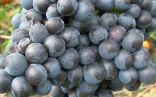 Виноград памяти домбковской описание сорта фото отзывы