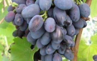 Виноград надежда азос описание сорта фото отзывы
