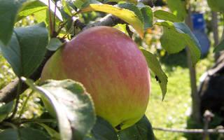 Яблоня услада описание фото отзывы