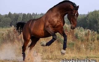 Тракененская лошадь характеристики + фото