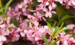 Как растет миндаль как выглядит дерево как цветет