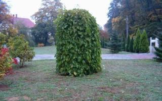 Шелковица плакучая обрезка зимовка урожайность отзывы