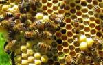 Как пчелы делают мед как собирают как производят как вырабатывают из нектара как делают соты где откладывают