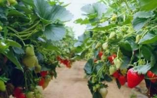 Выращивание клубники в горшках на улице