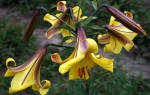 Лилии трубчатые сорта с фото и названиями
