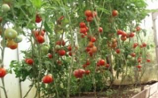 Помидоры для балкона сорта выращивание и уход