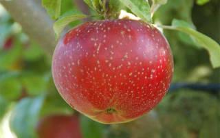 Яблоня лобо описание фото отзывы посадка