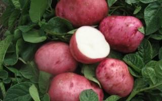 Картофель белая роза описание сорта фото отзывы