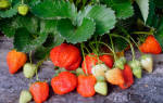 Как посадить клубнику под черный укрывной материал