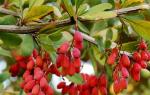 Как размножить барбарис черенками осенью и летом отводками семенами