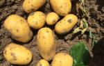 Картофель вега описание сорта фото отзывы