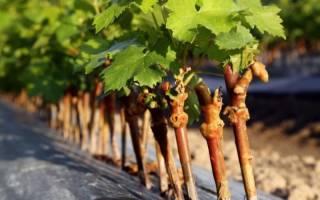 Черенкование винограда осенью