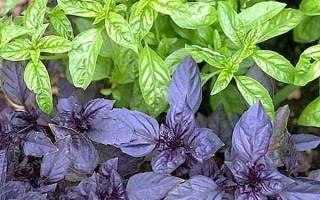 Базилик выращивание и уход в открытом грунте болезни и вредители