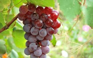 Виноград лидия описание сорта фото отзывы