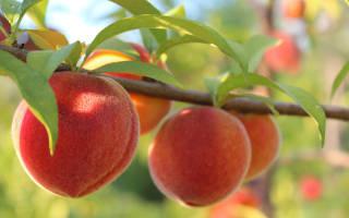 Обрезка персика осенью видео для начинающих сроки правила